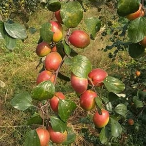 Kashmiri Apple Plant