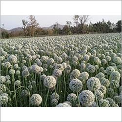 White Onion Seeds