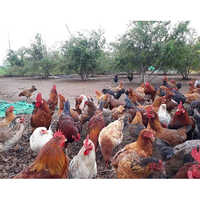 Desi Chicken Birds all Varietys Available now for free Range Farming Birds