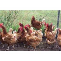 Desi Chicken Birds