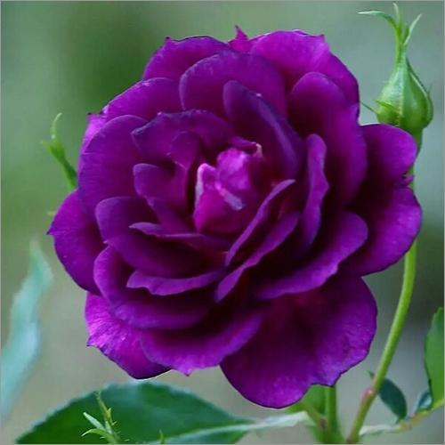 Blue Fire Rose Plant