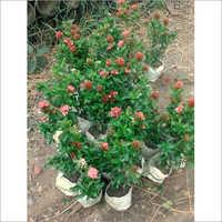 Jungle Geranium Plant