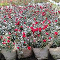 Red Mini Plant