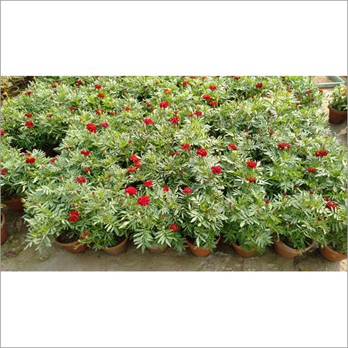 Red Violet Plant