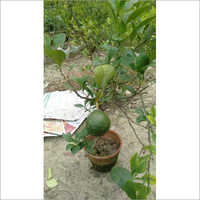 Limbu Plant