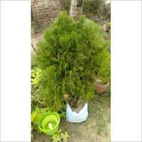 Jhaw Plant