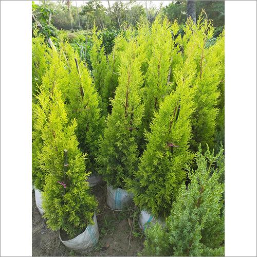 Emerald Green Plant