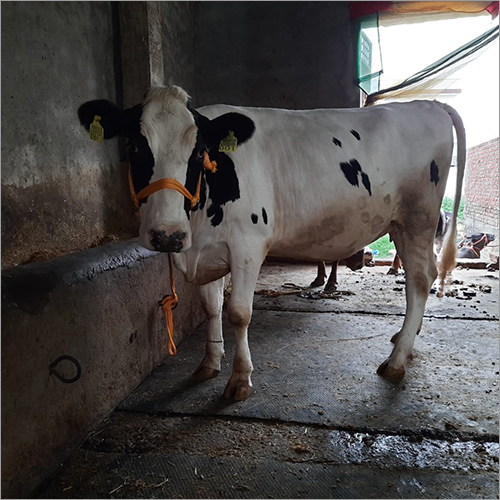 HF Breed Dairy Cow