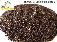 BLACK MILLET (Panicum miliaceum) FOR BIRD FEED