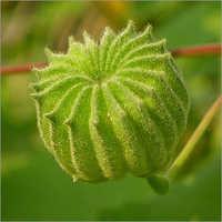 Khareti Herb