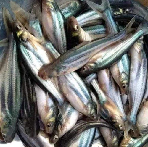 Phangasius Fish Seed