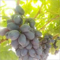 Sharad Seedless Grapes