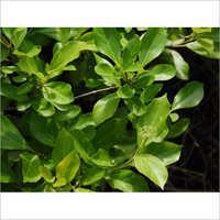 Arani Steam Herb