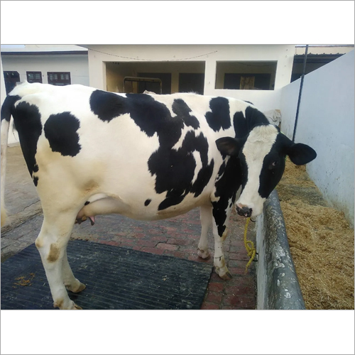 Dairy Farm HF Cow