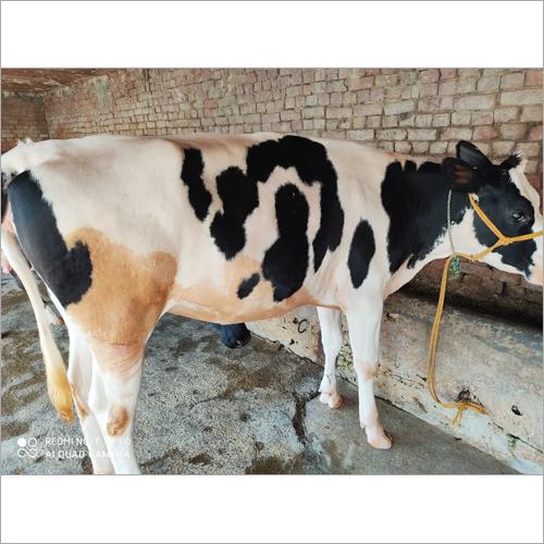 High Quality HF Cow