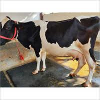 Livestock HF Cow