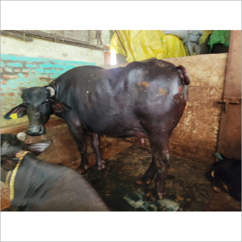 Dairy Farm Murrah Buffalo