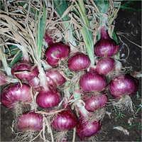 Pink Onion Seed
