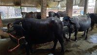 Black Murrah Buffalo Supplier In KARNAL