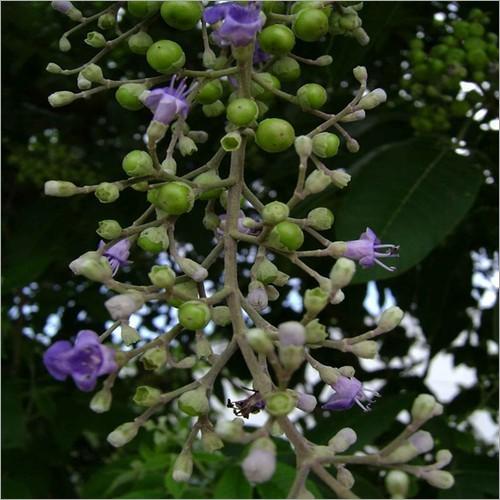 Chasteberry Extract ( Vitex agnus-castus Extract )