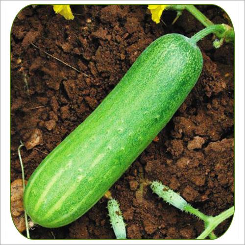Cucumber Apsara