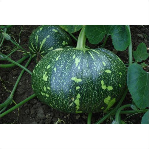 Pumpkin Yashwant