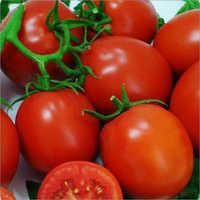 Amruta SH-446 Tomato