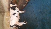 Top Quality HF Cow