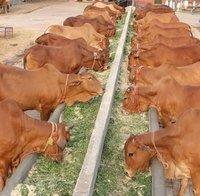 Pure Breed Healthy Sahiwal Cow