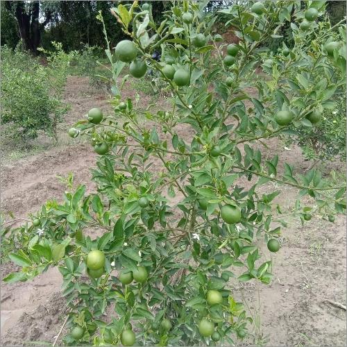 Seeds Less Lemon Plant