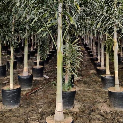 Foxtel Plam Plant