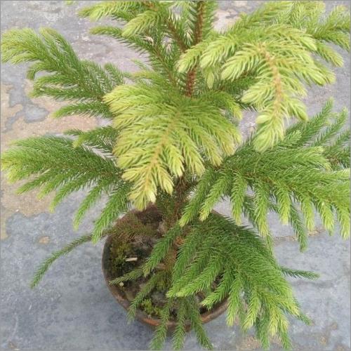 Krishmas Tree Plant