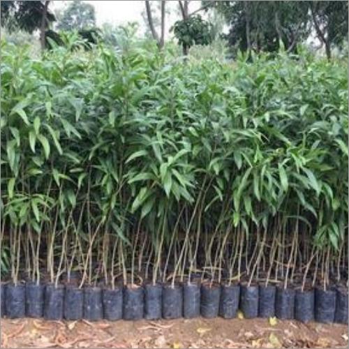 Australian Teak Plant