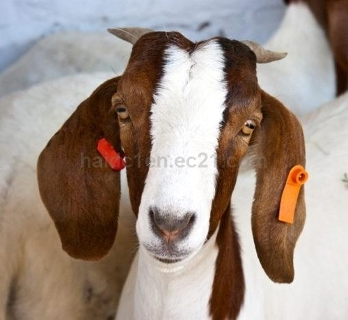 Healthy Live Boer Goats