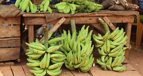 Quality Green Plantain For Sale