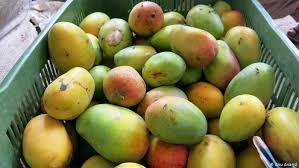 Mango Suran ( yam)