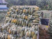 Pineapple Fresh