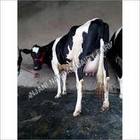 HF Breed Cow