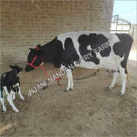 HF Cow with Female Calf