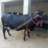 Cross Bread Hf Cow