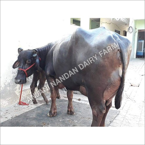 Milking Murrah Buffalo