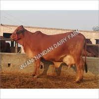Desi Sahiwal Cow