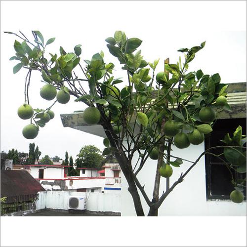Sweet Lemon Plant