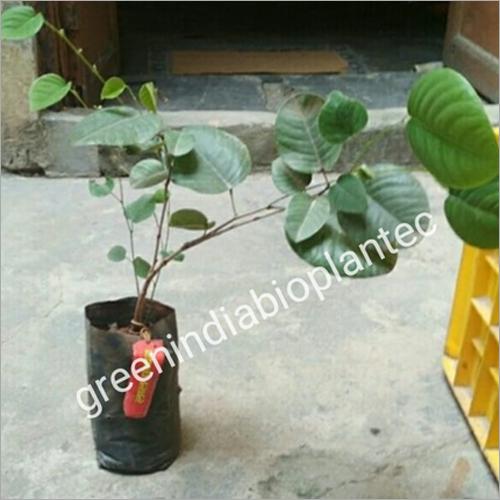 Red Sandalwood Plant