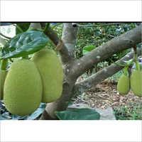 Thai Jackfruit Plant