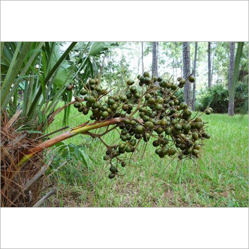 Saw Palmetto Oil (CO2 Extracted)