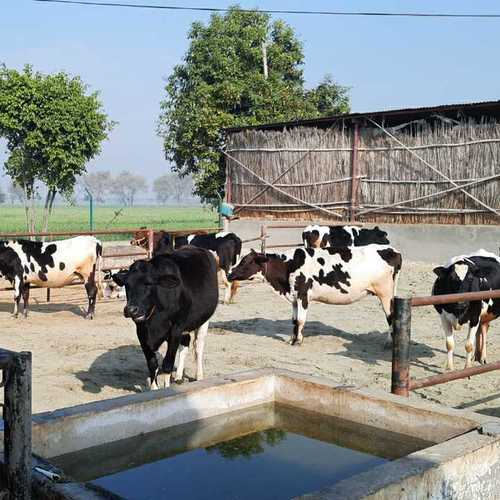 Top Quality HF Cow Supplier In Haryana