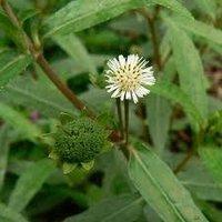 Bhringraj Herbs