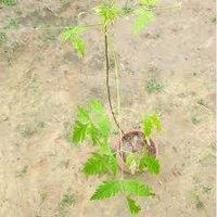 Bakain Plant