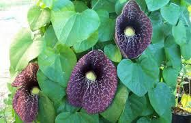 Birthwort Medicinal Herbs